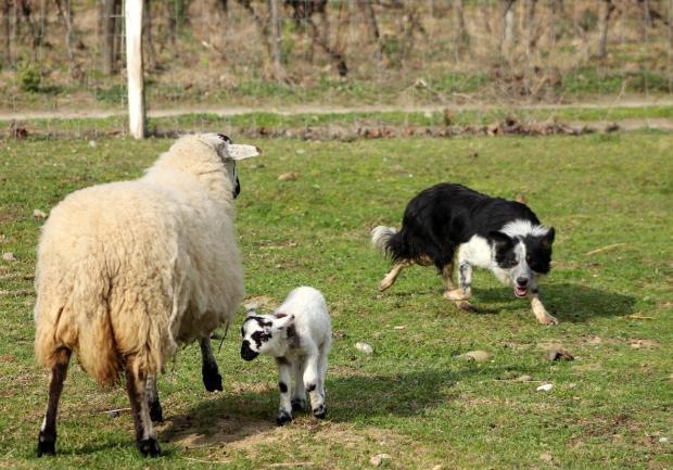 Border collie élevage