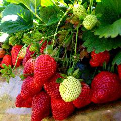 La culture des fraises de Californie boulevers�e par l'interdiction d'un pesticide
