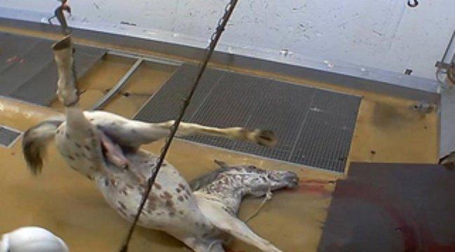 23-02-2016 -  Abattoir - Des �sc�nes intol�rables� contre des animaux film�es dans un abattoir certifi� bio