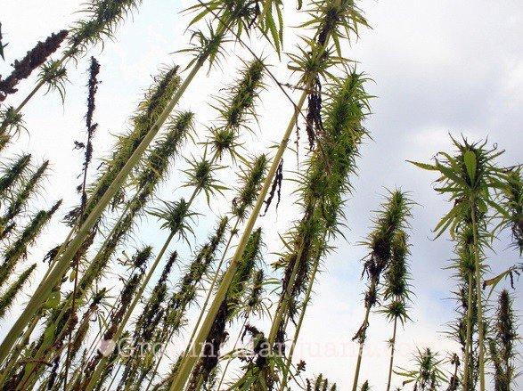 Best Outdoor Marijuana Seeds For Your Climate