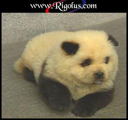 chocho-panda
