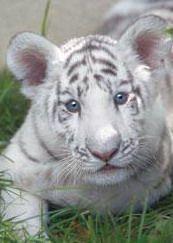 Tro tro mignon le bebe tigre blanc manon090 - Bebe tigre mignon ...