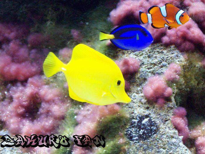 Poisson jaune doris et nemo zakuro fan - Doris et nemo ...