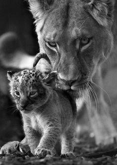 lionne avec son petit
