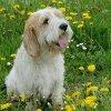 Profil de chien-griffon