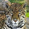 jaguar281