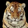 Tigresse5212