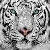 tigre56