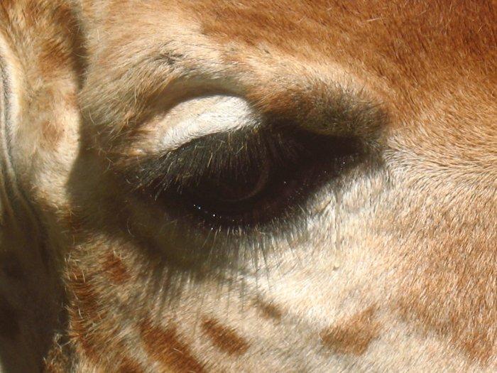 """Vision Animal """"Girafe"""""""