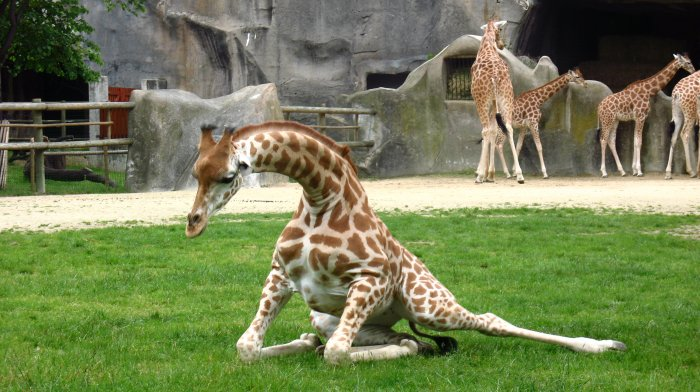 Girafe en plein effort