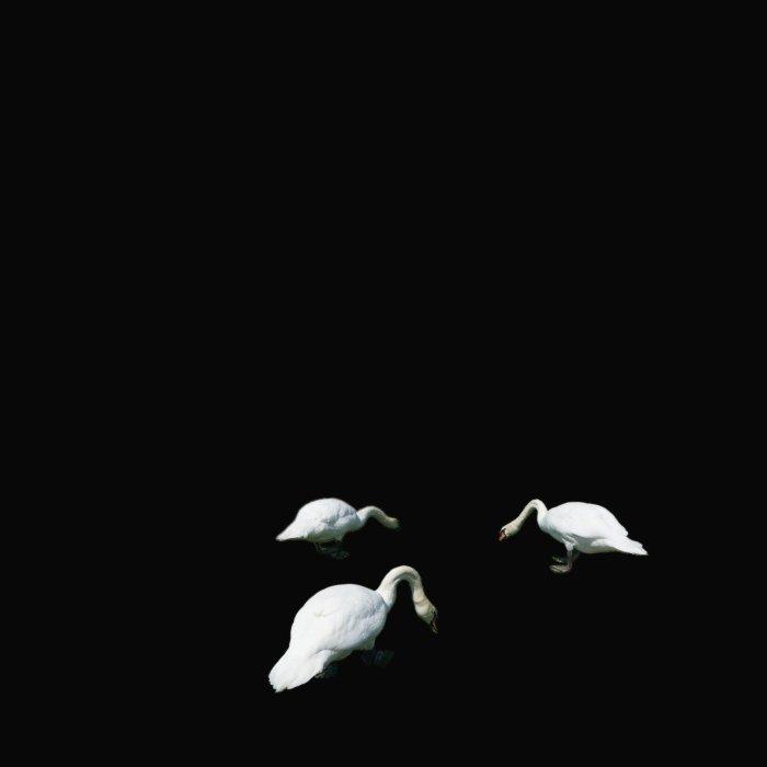 Trois Cygnes © I N