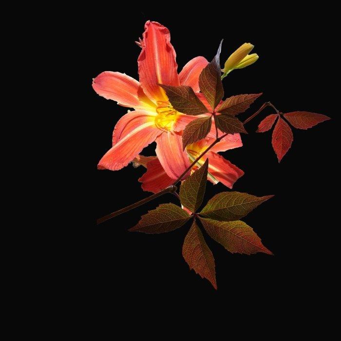 Hémérocalle et feuilles de vigne vierge © I N