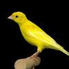Profil de cardellinoitaliano