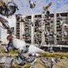 Profil de pigeonvole62137