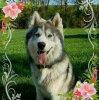 Profil de husky-wolf