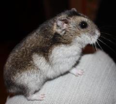 This is my hamster décédée le 19 décembre 2011