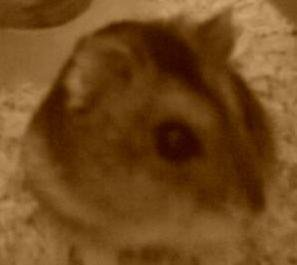 Encore my hamster... (en mode sépia)