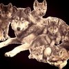 magnifique-les-loups