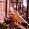 Profil de canarios15