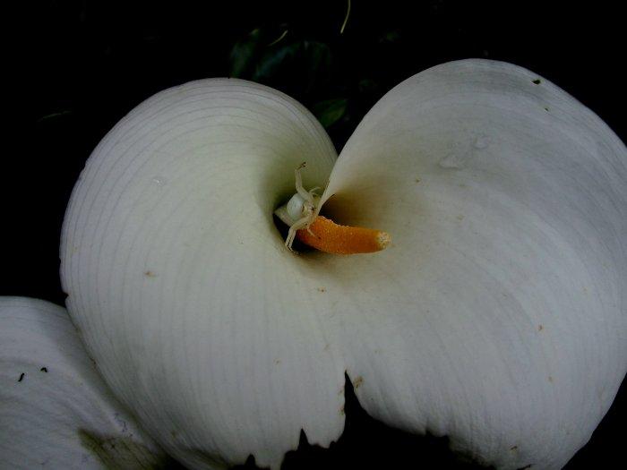 Une araignée blanche camouflée dans un arum