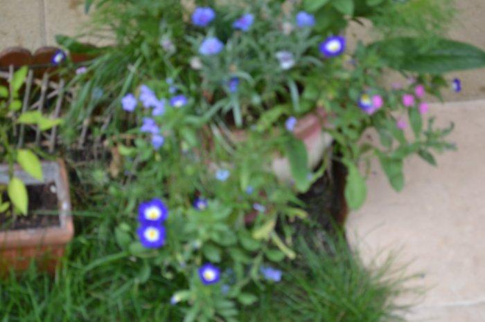 jolie fleurettes bleues
