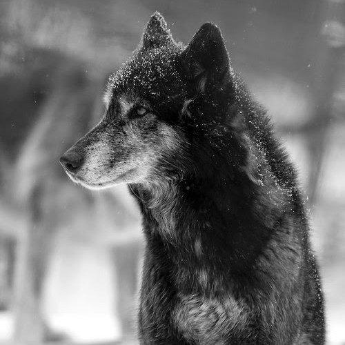 Wolf <3.