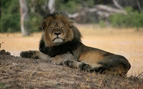 Cecil le Lion ╬ (Repose en Paix)