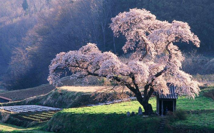 Cerisier en Fleurs ♥