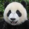 PandaMouh