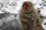 Des singes cobayes envoyés à Fukushima