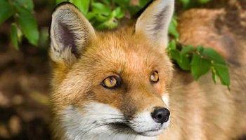 Pétition : Les renards, victimes de la cruauté humaine !
