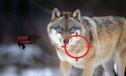 Pétition : Nous demandons l'arrêt des tirs sur les loups !