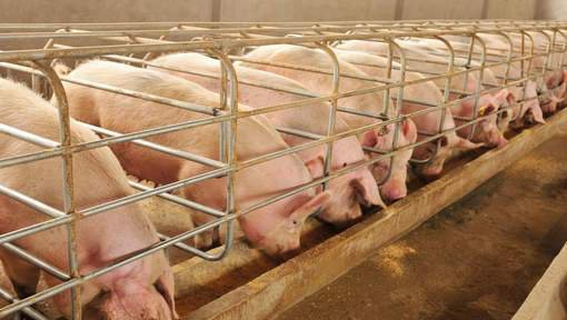 23-12-2015 - Gottem - Flandres orientale - Deinze - Nouvel incendie d'une porcherie à Deinze: 900 porcs tués.
