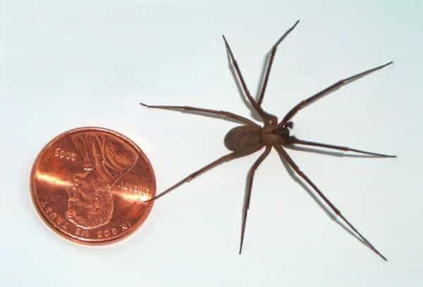 Attention...méfiez vous de cette araignée qui pourrait faire des ravages cet été et qui nécrose votre peau !