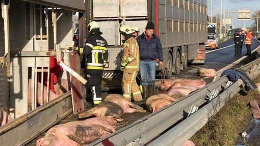 Des dizaines de cochons périssent dans l'accident d'un camion