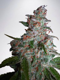 Big Bud XXL Féminisées - Ministry of Cannabis