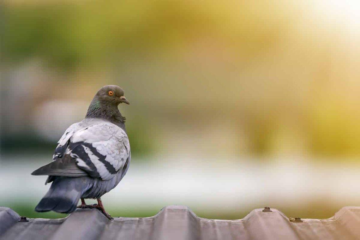 """Régulation du pigeon en ville: """"le tir reste la meilleure option"""""""