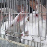 Enquête Lapins : l'élevage en cage est choquant