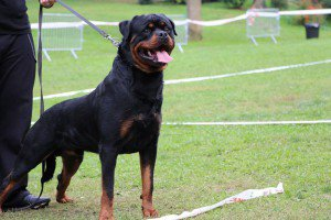 Élevage de Gardiens du Kirchberg Rottweiler, Photos et videos