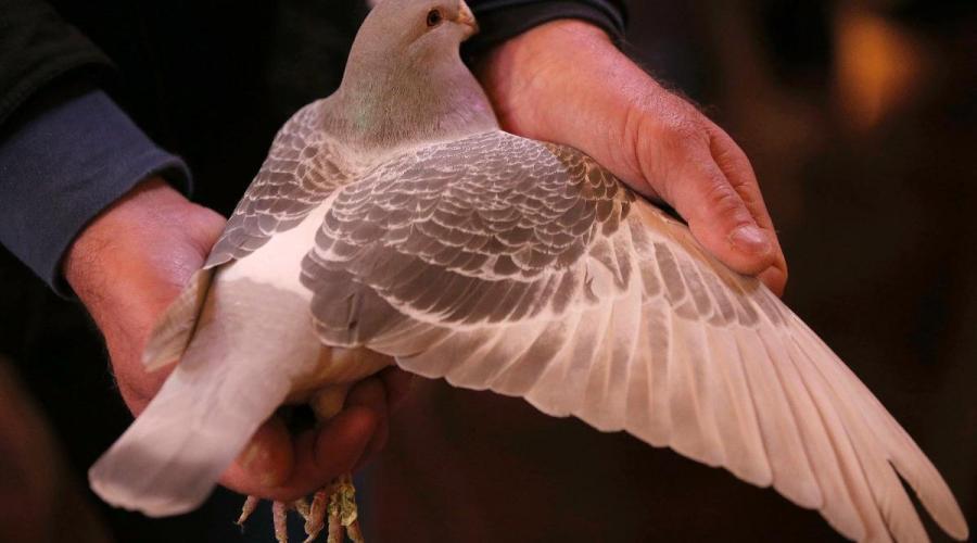 Saint-Thuriau, Plumelin, Noyal-Pontivy. Des pigeons dans les écoles