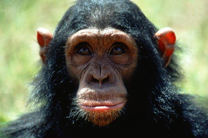 Une grande majorité de singes refuse toujours de croire que l'Homme descend d'eux