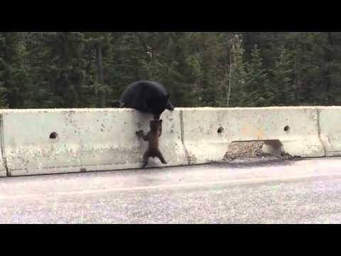 Une maman ours sauve son ourson sur le bord d'une autoroute
