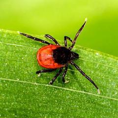 """Maladie de Lyme: la HAS publie des recommandations (""""une solution à chacun"""") qui ne font pas l'unanimité (France)"""