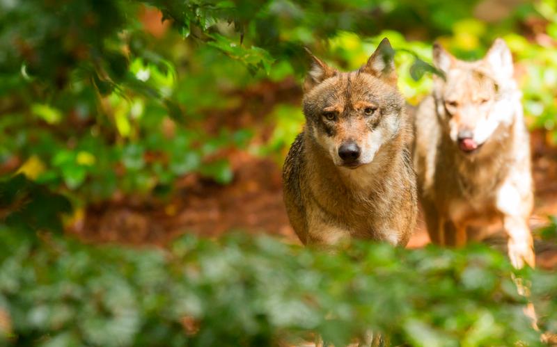 Encore un arrêté ou comment tuer toujours plus de loups