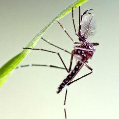 Google lance 20 millions de moustiques modifiés en Californie