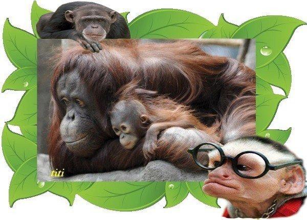 Maman Orang-Outan et son bébé - KDO de... TITI...
