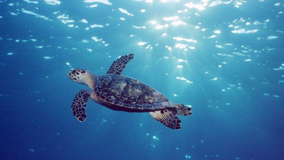 La tortue marine, vulnérable | WWF