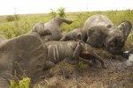 Congo - 22 éléphants mittraillés du ciel par hélicoptère !!!