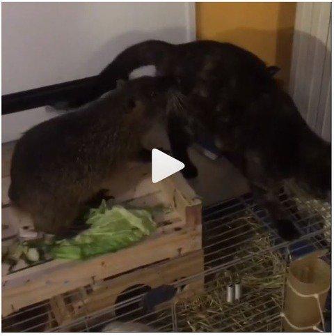 ヌートリア、強敵のネコを追い払って得意満面 : ヌートリアの楽しい動画集(日本ヌートリア交流協会)