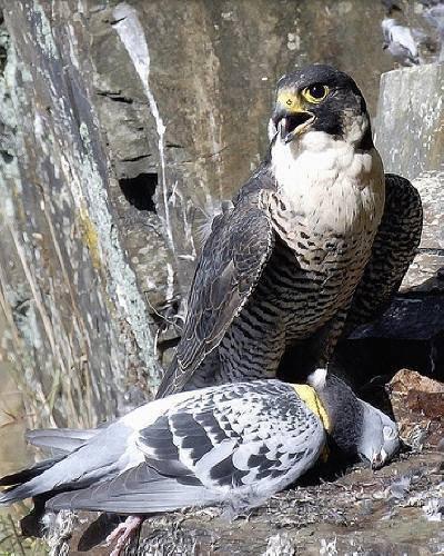 voila ou passe nos pigeons
